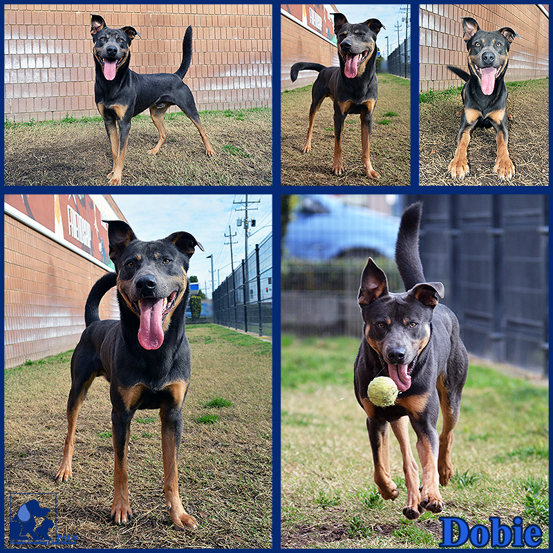 PALS Pet of the Week - Dobie 1.5