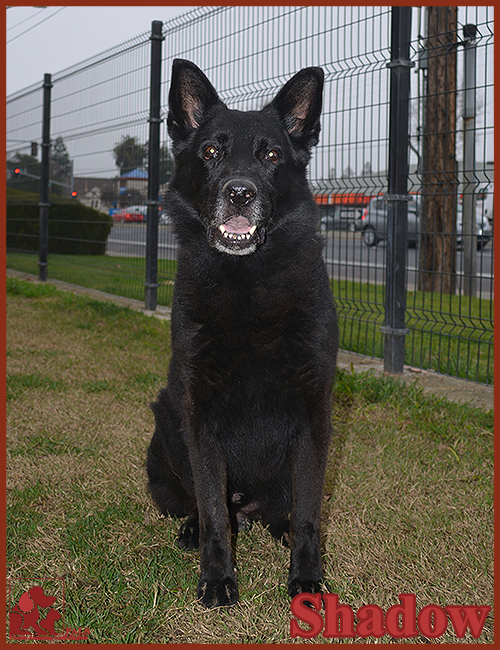 PALS Pet of the Week - Shadow .5